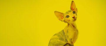 חתולים – חתול כחיות מחמד